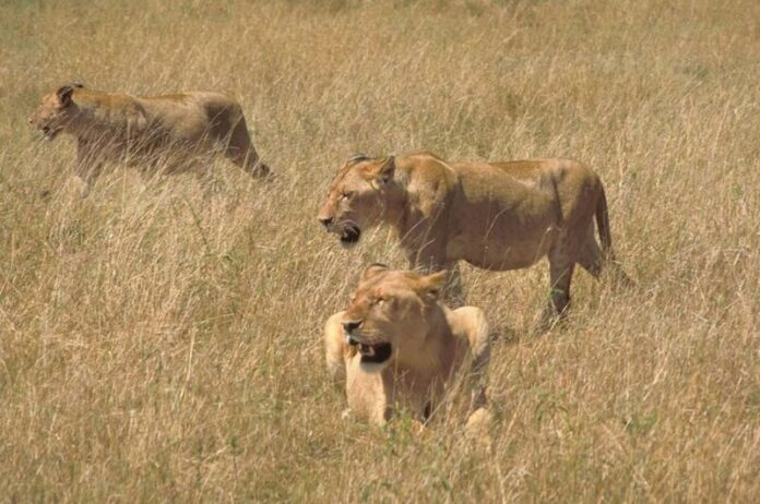 3 leones
